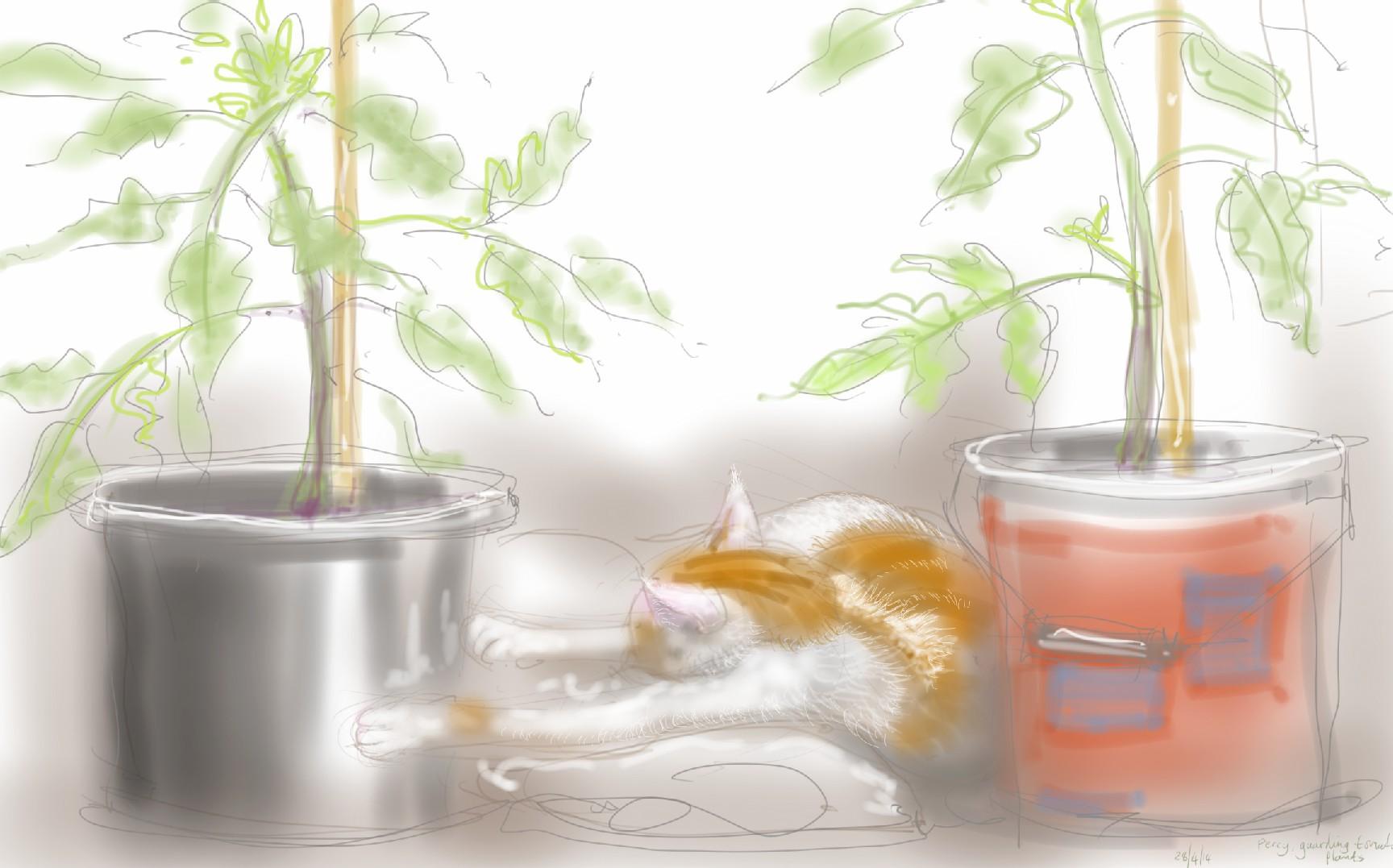 Percy Cat guarding tomato plants
